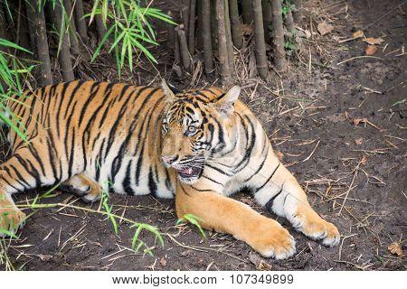 Malayan Tiger Under Bamboo Trees