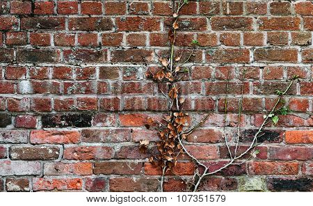 Red clay old brick wall with a climbing plant stuck to it