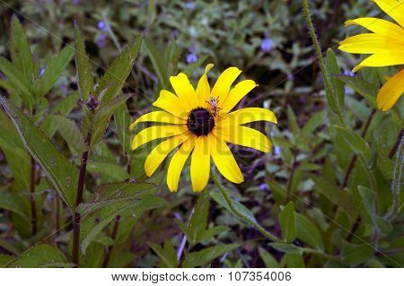 Beetle on a Black Eyed Susan