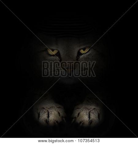 Dark Muzzle Scottish Cat Breed. Front View