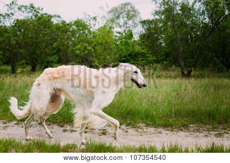 White Russian Borzoi hunting in autumn forest.
