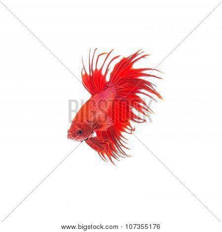 Orange Red Siamese Fighting Fish, Betta Splendens Isolated On White Background