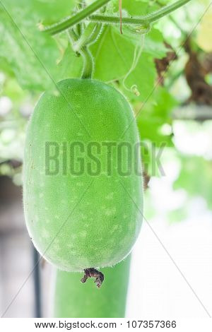 Winter Melon Hanging From Branch In The Garden