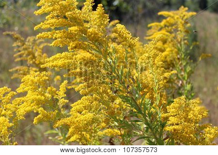 Goldenrod Yellow Meadow Flowers