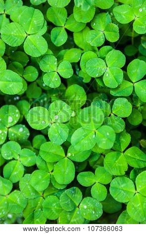 Green Leaves Of Clover With Drops Of Dew