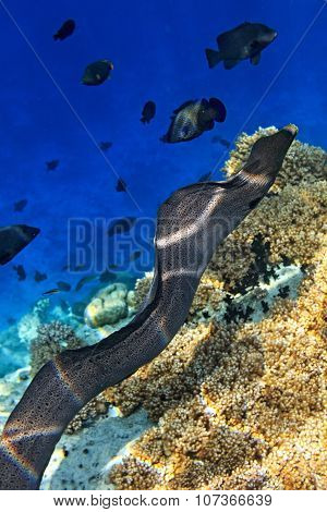 Moray Eel Is On Coral Reef
