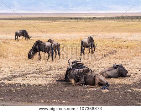 Wildebeest In Ngorongoro