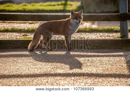 Fox in shadow