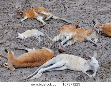 Mob of Kangaroos: Break Time