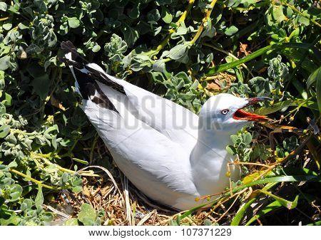 Sea Gull Squawking on Penguin Island