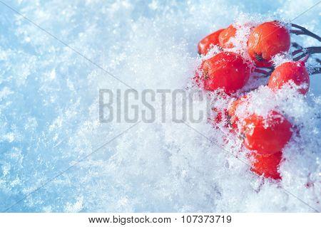 Rowan closeup in the snow