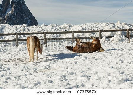 Magnificent Ponies In The Snow. Dolomites. Val Di Fiemme, Italy