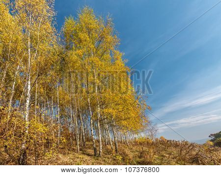 Birch woodlet in autumn colors