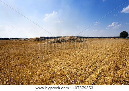 harvesting cereals.  field
