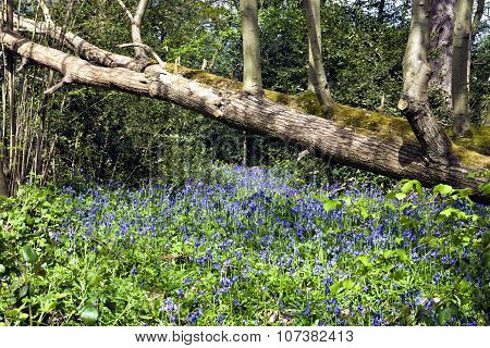 Springtime bluebells in a woodland under fallen tree