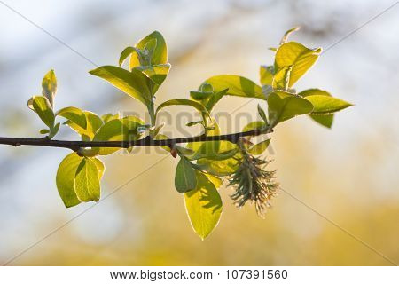 Fresh Spring Leaves And Willow Catkin