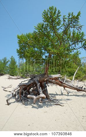 Famous walking trees in Sandy Bay on the coast of Lake Baikal.