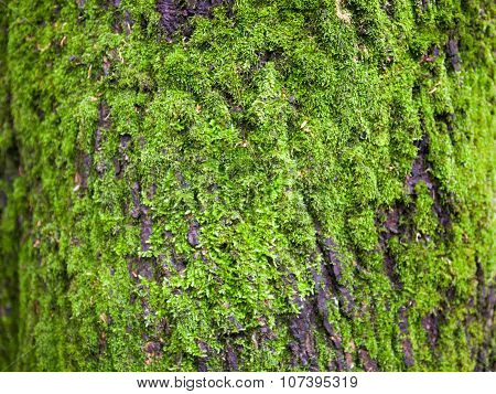 Close Up Of The Tree Bark Overgrown With Moss