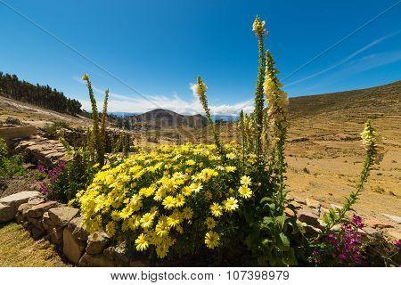 Flowers On The Island Of The Sun, Titicaca Lake, Bolivia