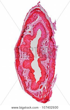 Epithelium Micrograph