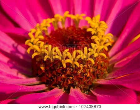 The Pith Zinnia Flower.