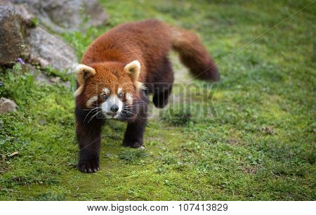 Red Panda Going For A Walk