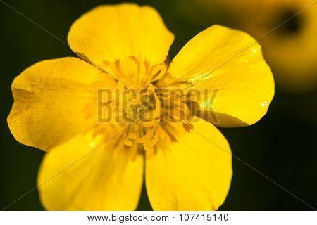 Yellow Buttercup Flower