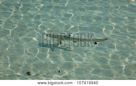 Blacktip reef shark (Carcharhinus melanopterus) in the shallow water