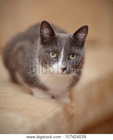 Smoky-gray With White A Domestic Cat.