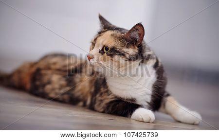 The Domestic Cat Of A Multi-colored Color