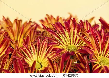 Red Yellow Mum Or Chrysanthemum Flowers