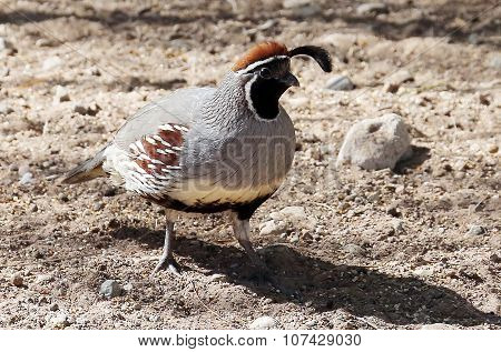 Male Desert Quail