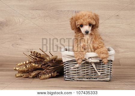 Toy Poodle Puppy In Basket