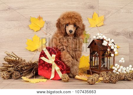 Dwarf Poodle Puppy On The Background Of Autumn Leaves
