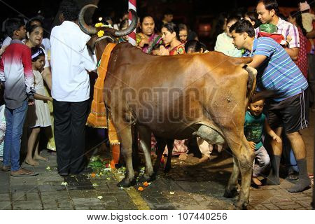 Pune, India - November 7, 2015: People In India Worshipping The Cow On The Occasion Of Diwali Festiv