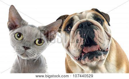 English Bulldog And Devon Rex