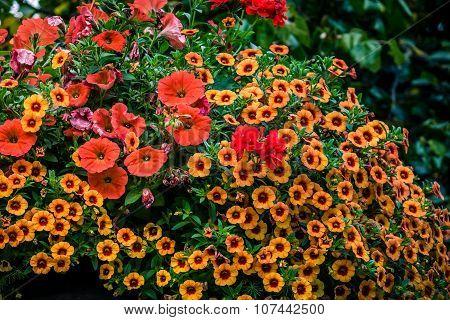 Primrose and petunia flowers