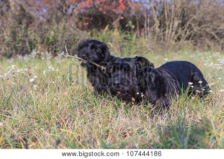 Couple Of The Giant Black Schnauzer