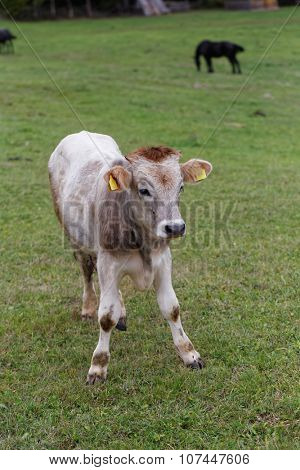 Calf in grass field