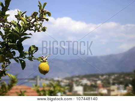 a lemon on the tree