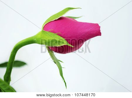 a pink bud rose
