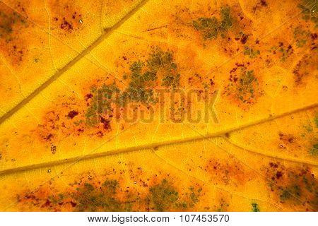 Structure Of Autumn Leaf
