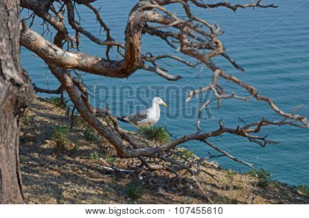 Seagull - Lat. Laridae, Sitting On The Hill Over The Lake Baikal