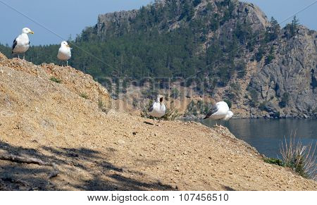 Seagulls - Lat. Laridae, Sitting In A Row On The Hill Over The Lake Baikal