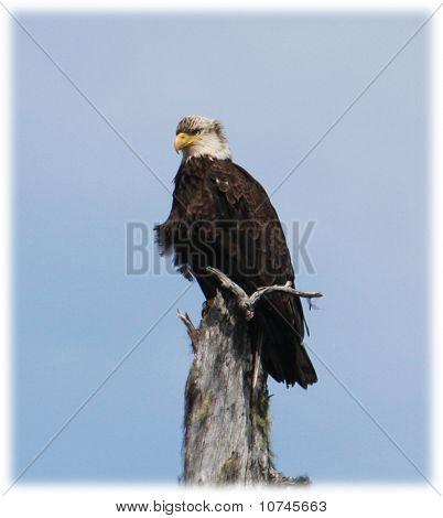 Águia do Alasca