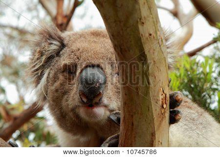 Koala (phascolarctos Cinereus) Look From A Tree