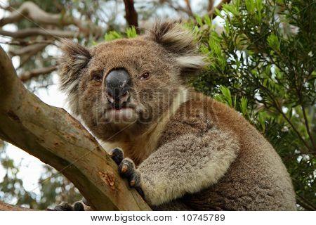 Koala (phascolarctos Cinereus) On A Tree