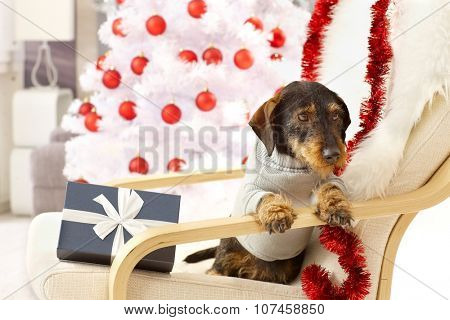 Lovely dog celebrating christmas, having present sitting front of christmas tree in armchair.