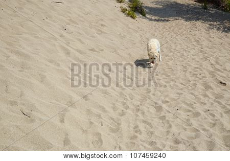 Lone Dog In The Middle Of The Sand In Sunny Day. Sandy Bay, Lake Baikal