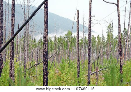 Aspen forest in a few years after the fire
